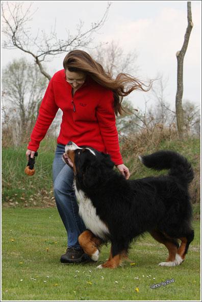 Berner Sennenhunde B Wurf